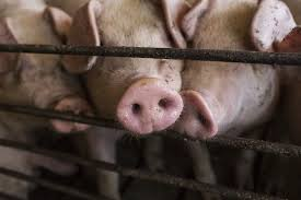 Graves County could face second lawsuit in hog farm dispute
